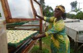 Solar dryer curbing post-harvest losses