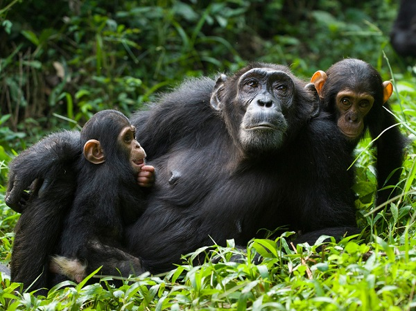 The forest watch app has helped to conserve wildlife, including chimpanzees in Kibale National Park