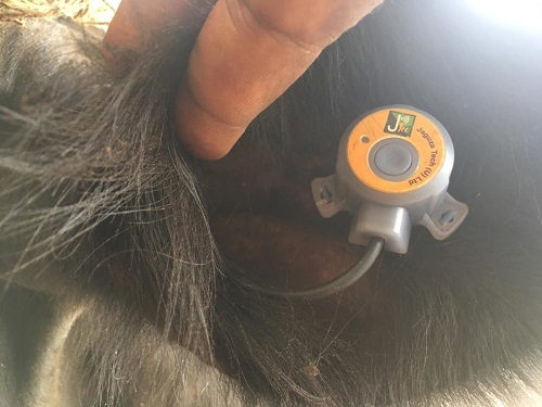 A chip that measures temperature for Jaguza Livestock App on a cow